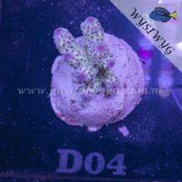 D04 Acropora