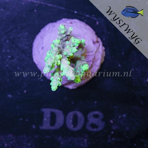 D08 Acropora