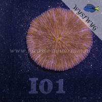 I01 Fungia