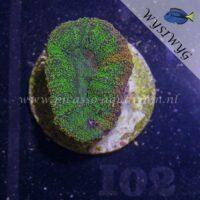 I02 Lobophyllia